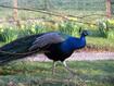 Arran self-catering - Peacock in the garden