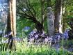 Arran self-catering - Pan amongst the bluebells