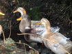 Holiday cottage Western Isles - Saxony Ducks