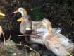 Holiday cottage Western Isles - Saxony Ducks
