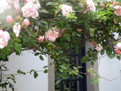 Cottages with roses on the Scottish Western Isles