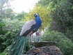 Arran Self Catering Cottages - Kilmichael Peacock