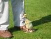 Holidays Arran - Wilf the duckling